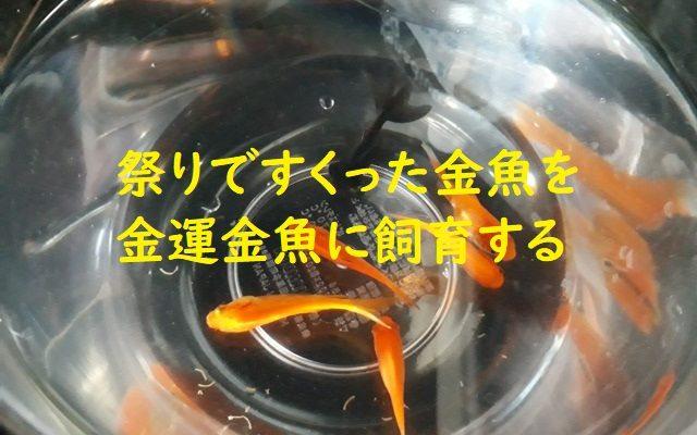 金運金魚を飼育する